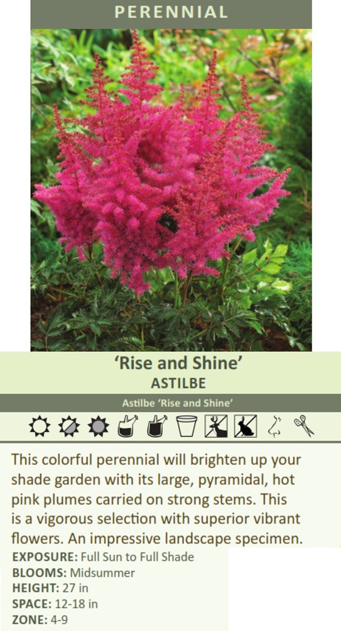 Rise and Shine' Astilbe Astilbe 'Rise and Shine' This colorful perennial will brighten up your shade garden with its large, pyramidal, hot pink plumes carried on strong stems. This is a vigorous selection with superior vibrant flowers. An impressive landscape specimen. EXPOSURE: Full Sun to Full Shade BLOOMS: Midsummer HEIGHT: 27 in SPACE: 12-18 in ZONE: 4-9