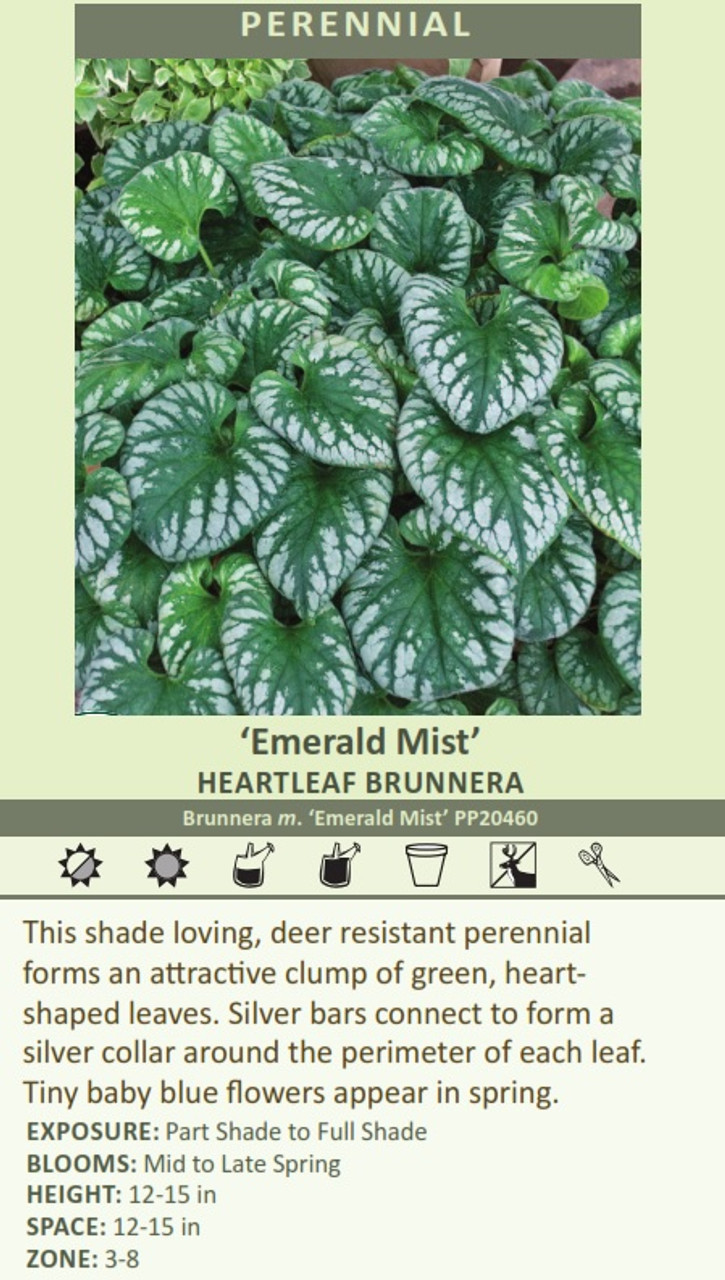 'Emerald Mist' HEARTLEAF BRUNNERA Brunnera m. 'Emerald Mist' PP20460 This shade loving, deer resistant perennial forms an attractive clump of green, heart shaped leaves. Silver bars connect to form a silver collar around the perimeter of each leaf. Tiny baby blue flowers appear in spring.  EXPOSURE: Part Shade to Full Shade BLOOMS: Mid to Late Spring HEIGHT: 12-15 in SPACE: 12-15 in ZONE: 3-8