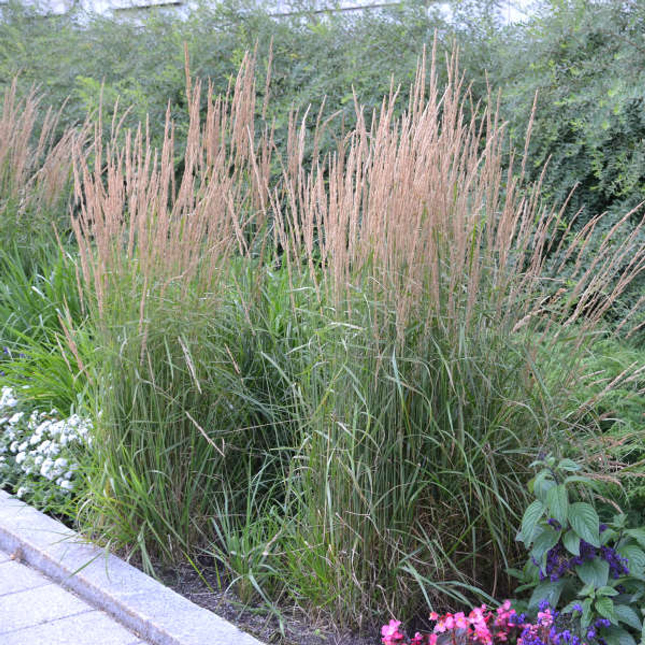 Calamagrostis acutiflora 'Karl Foerster' Photos courtesy of Walters Gardens, Inc.