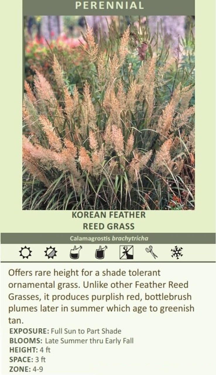 KOREAN FEATHER  REED GRASS Calamagrostis brachytricha Offers rare height for a shade tolerant ornamental grass. Unlike other Feather Reed Grasses, it produces purplish red, bottlebrush plumes later in summer which age to greenish tan. EXPOSURE: Full Sun to Part Shade BLOOMS:  Late Summer thru Early Fall HEIGHT: 4 ft SPACE: 3 ft ZONE: 4-9