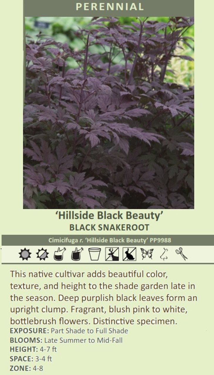 'Hillside Black Beauty' BLACK SNAKEROOT Cimicifuga r. 'Hillside Black Beauty' PP9988 This native cultivar adds beautiful color, texture, and height to the shade garden late in the season. Deep purplish black leaves form an upright clump. Fragrant, blush pink to white, bottlebrush flowers. Distinctive specimen. EXPOSURE: Part Shade to Full Shade BLOOMS: Late Summer to Mid-Fall HEIGHT: 4-7 ft SPACE: 3-4 ft ZONE: 4-8