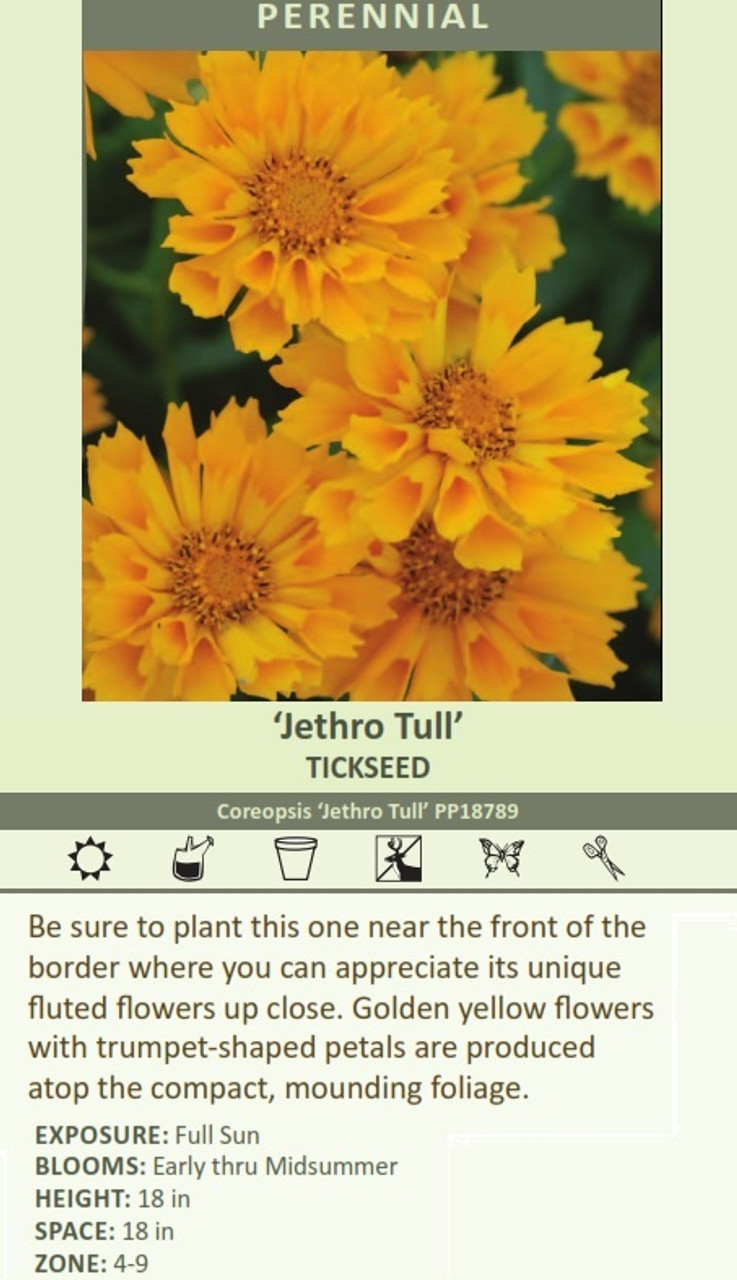Jethro Tull' TICKSEED Coreopsis 'Jethro Tull' PP18789 Be sure to plant this one near the front of the border where you can appreciate its unique fluted flowers up close. Golden yellow flowers with trumpet-shaped petals are produced atop the compact, mounding foliage. EXPOSURE: Full Sun BLOOMS: Early thru Midsummer HEIGHT: 18 in SPACE: 18 in ZONE: 4-9