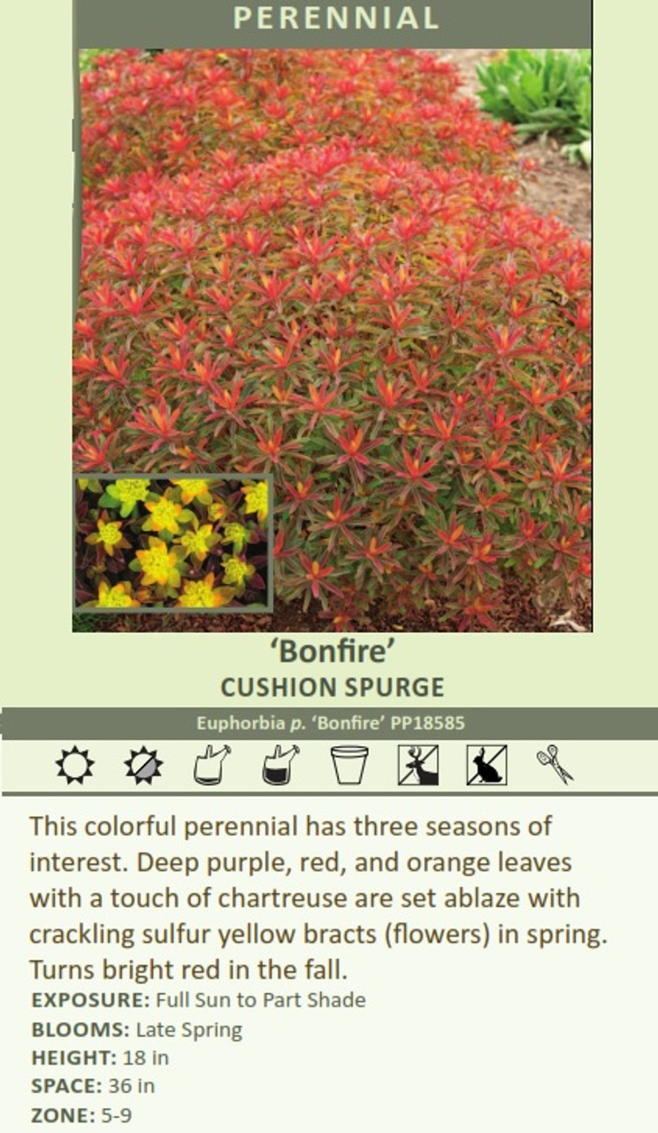 'Bonfire' CUSHION SPURGE Euphorbia p. 'Bonfire' PP18585 This colorful perennial has three seasons of interest. Deep purple, red, and orange leaves with a touch of chartreuse are set ablaze with crackling sulfur yellow bracts (flowers) in spring. Turns bright red in the fall.  EXPOSURE: Full Sun to Part Shade BLOOMS: Late Spring HEIGHT: 18 in SPACE: 36 in ZONE: 5-9