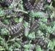 Leptinella