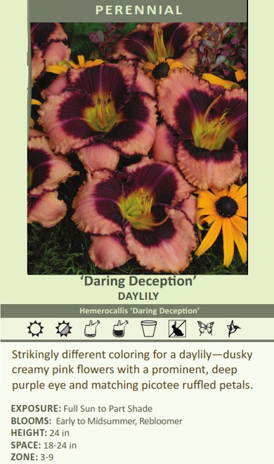 'Daring Deception' DAYLILY Hemerocallis 'Daring Deception' Strikingly different coloring for a daylily dusky creamy pink flowers with a prominent, deep purple eye and matching picotee ruffled petals.  EXPOSURE: Full Sun to Part Shade BLOOMS:  Early to Midsummer, Rebloomer HEIGHT: 24 in SPACE: 18-24 in ZONE: 3-9