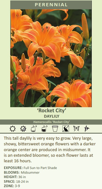 'Rocket City' DAYLILY Hemerocallis 'Rocket City' This tall daylily is very easy to grow. Very large, showy, bittersweet orange flowers with a darker orange center are produced in midsummer. It is an extended bloomer, so each flower lasts at least 16 hours. EXPOSURE: Full Sun to Part Shade BLOOMS:  Midsummer HEIGHT: 36 in SPACE: 18-24 in ZONE: 3-9