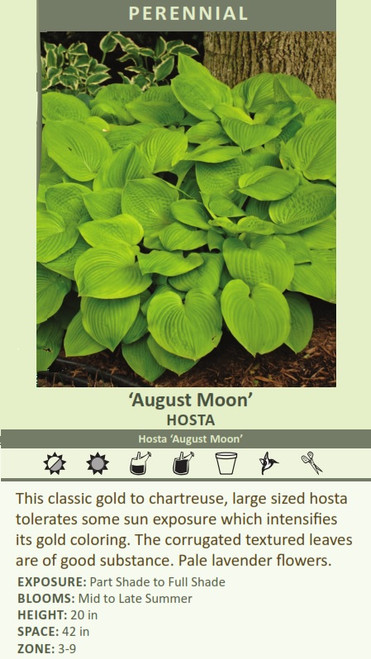 August Moon HOSTA Hosta August Moon This classic gold to chartreuse, large sized hosta tolerates some sun exposure which intensifies its gold coloring. The corrugated textured leaves are of good substance. Pale lavender flowers. EXPOSURE: Part Shade to Full Shade BLOOMS: Mid to Late Summer HEIGHT: 20 in SPACE: 42 in ZONE: 3-9