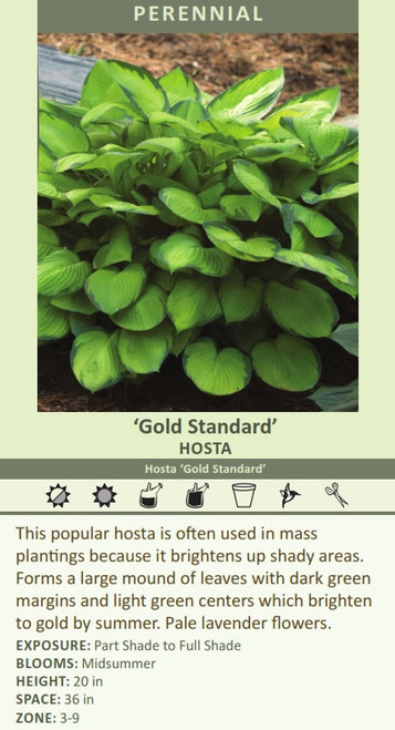Gold Standard HOSTA Hosta Gold Standard This popular hosta is often used in mass plantings because it brightens up shady areas. Forms a large mound of leaves with dark green margins and light green centers which brighten to gold by summer. Pale lavender flowers.   EXPOSURE: Part Shade to Full Shade BLOOMS: Midsummer HEIGHT: 20 in SPACE: 36 in ZONE: 3-9