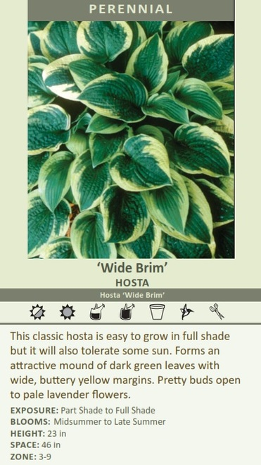 Wide Brim HOSTA Hosta Wide Brim This classic hosta is easy to grow in full shade but it will also tolerate some sun.  HEIGHT: 23 in SPACE: 46 in ZONE: 3-9