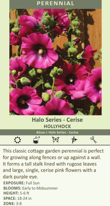 Halo Series - Cerise HOLLYHOCK Alcea r. Halo Series - Cerise This classic cottage garden perennial is perfect for growing along fences or up against a wall. It forms a tall stalk lined with rugose leaves and large, single, cerise pink flowers with a dark purple eye.   EXPOSURE: Full Sun BLOOMS: Early to Midsummer HEIGHT: 5-6 ft SPACE: 18-24 in ZONE: 3-8