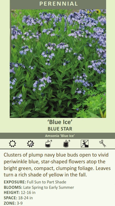 Blue Ice' BLUE STAR Amsonia 'Blue Ice' Clusters of plump navy blue buds open to vivid periwinkle blue, star-shaped flowers atop the bright green, compact, clumping foliage. Leaves turn a rich shade of yellow in the fall. EXPOSURE: Full Sun to Part Shade BLOOMS: Late Spring to Early Summer HEIGHT: 12-16 in SPACE: 18-24 in ZONE: 3-9