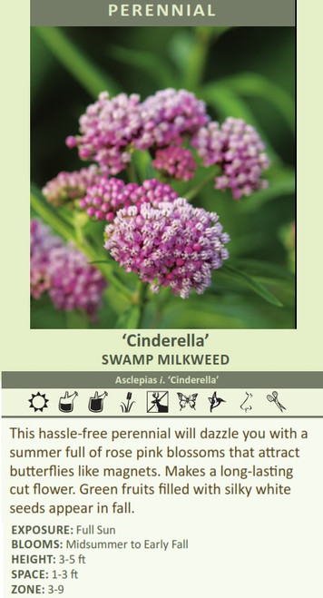 Cinderella' SWAMP MILKWEED Asclepias i. 'Cinderella' This hassle-free perennial will dazzle you with a summer full of rose pink blossoms that attract butterflies like magnets. Makes a long-lasting cut flower. Green fruits filled with silky white seeds appear in fall. EXPOSURE: Full Sun BLOOMS: Midsummer to Early Fall HEIGHT: 3-5 ft SPACE: 1-3 ft ZONE: 3-9