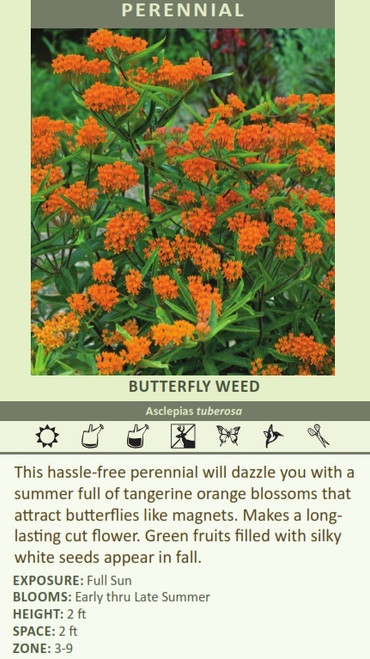 BUTTERFLY WEED Asclepias tuberosa This hassle-free perennial will dazzle you with a summer full of tangerine orange blossoms that attract butterflies like magnets. Makes a long lasting cut flower. Green fruits filled with silky white seeds appear in fall. EXPOSURE: Full Sun BLOOMS: Early thru Late Summer HEIGHT: 2 ft SPACE: 2 ft ZONE: 3-9
