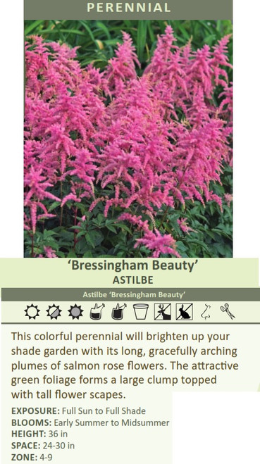 Bressingham Beauty' Astilbe Astilbe 'Bressingham Beauty' This colorful perennial will brighten up your shade garden with its long, gracefully arching plumes of salmon rose flowers. The attractive green foliage forms a large clump topped with tall flower scapes. EXPOSURE: Full Sun to Full Shade BLOOMS: Early Summer to Midsummer HEIGHT: 36 in SPACE: 24-30 in ZONE: 4-9
