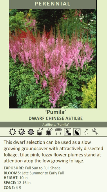 Pumila' DWARF CHINESE Astilbe Astilbe c. 'Pumila' This dwarf selection can be used as a slow growing groundcover with attractively dissected foliage. Lilac pink, fuzzy flower plumes stand at attention atop the low growing foliage. EXPOSURE: Full Sun to Full Shade BLOOMS: Late Summer to Early Fall HEIGHT: 10 in SPACE: 12-16 in ZONE: 4-9