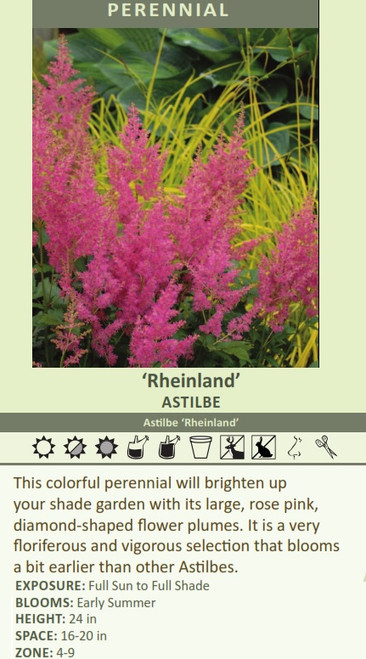 Rheinland' Astilbe Astilbe 'Rheinland' This colorful perennial will brighten up your shade garden with its large, rose pink, diamond-shaped flower plumes. It is a very floriferous and vigorous selection that blooms a bit earlier than other Astilbes. EXPOSURE: Full Sun to Full Shade BLOOMS: Early Summer HEIGHT: 24 in SPACE: 16-20 in ZONE: 4-9