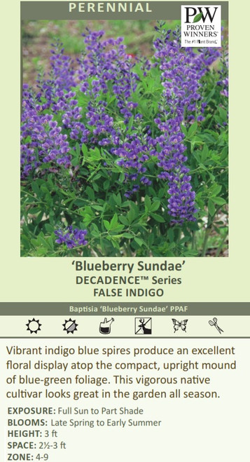 Blueberry Sundae' DECADENCE Series FALSE INDIGO Baptisia 'Blueberry Sundae' PPAF Vibrant indigo blue spires produce an excellent floral display atop the compact, upright mound of blue-green foliage. This vigorous native cultivar looks great in the garden all season. EXPOSURE: Full Sun to Part Shade BLOOMS:  Late Spring to Early Summer HEIGHT: 3 ft SPACE: 2-3 ft ZONE: 4-9