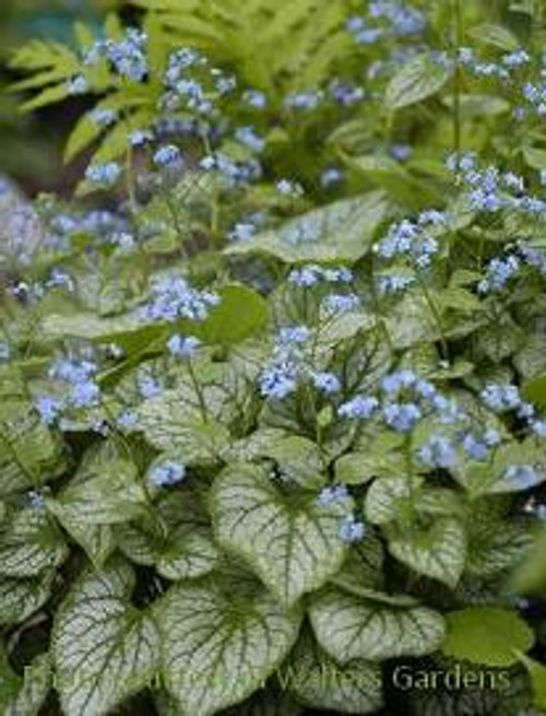 Brunnera m. 'Jack Frost' PP13859     Dark green leaves with a heavy silver overlay     Baby blue, forget-me-not type blossoms in mid to late spring     Tolerates heat better than older cultivars