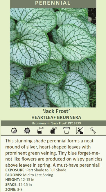'Jack Frost' HEARTLEAF BRUNNERA Brunnera m. 'Jack Frost' PP13859 This stunning shade perennial forms a neat mound of silver, heart-shaped leaves with prominent green veining. Tiny blue forget-me not like flowers are produced on wispy  panicles above leaves in spring. A must-have perennial! EXPOSURE: Part Shade to Full Shade BLOOMS: Mid to Late Spring HEIGHT: 12-15 in SPACE: 12-15 in ZONE: 3-8