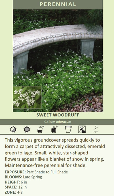 SWEET WOODRUFF Galium odoratum This vigorous groundcover spreads quickly to form a carpet of attractively dissected, emerald green foliage. Small, white, star-shaped flowers appear like a blanket of snow in spring. Maintenance-free perennial for shade. EXPOSURE: Part Shade to Full Shade BLOOMS: Late Spring HEIGHT: 6 in SPACE: 12 in ZONE: 4-8