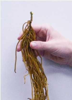 clematis-bare-root.jpg