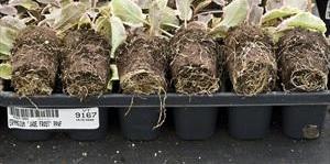 eryngium-p.-jade-frost-pp17370-flat.jpg