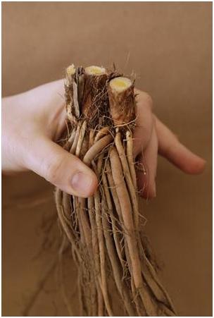 hemerocallis-joan-senior-bare-root.jpg
