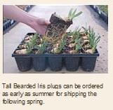 tall bearded iris flat