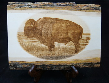 Laser Engraved Photo of a Bison or Buffalo on a Basswood Live Edge Plaque. Photo was taken at Maxwell Wildlife Refuge in Kansas.