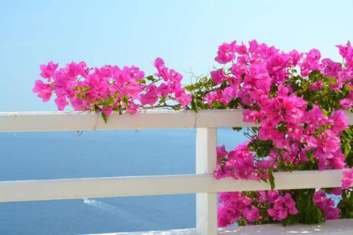 Bougainvilleas in Oia Santorini - Greek Islands