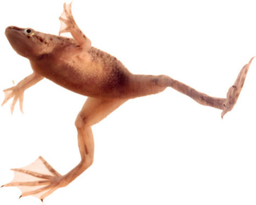Individual Frogs - FREE WITH CASE OF TANKS