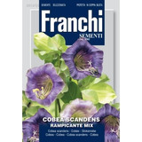 Cobea scandens climbing mix (Cup and Saucer flower)