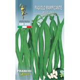 French Bean Blue Lake (A) Phaseolus vulgaris L.