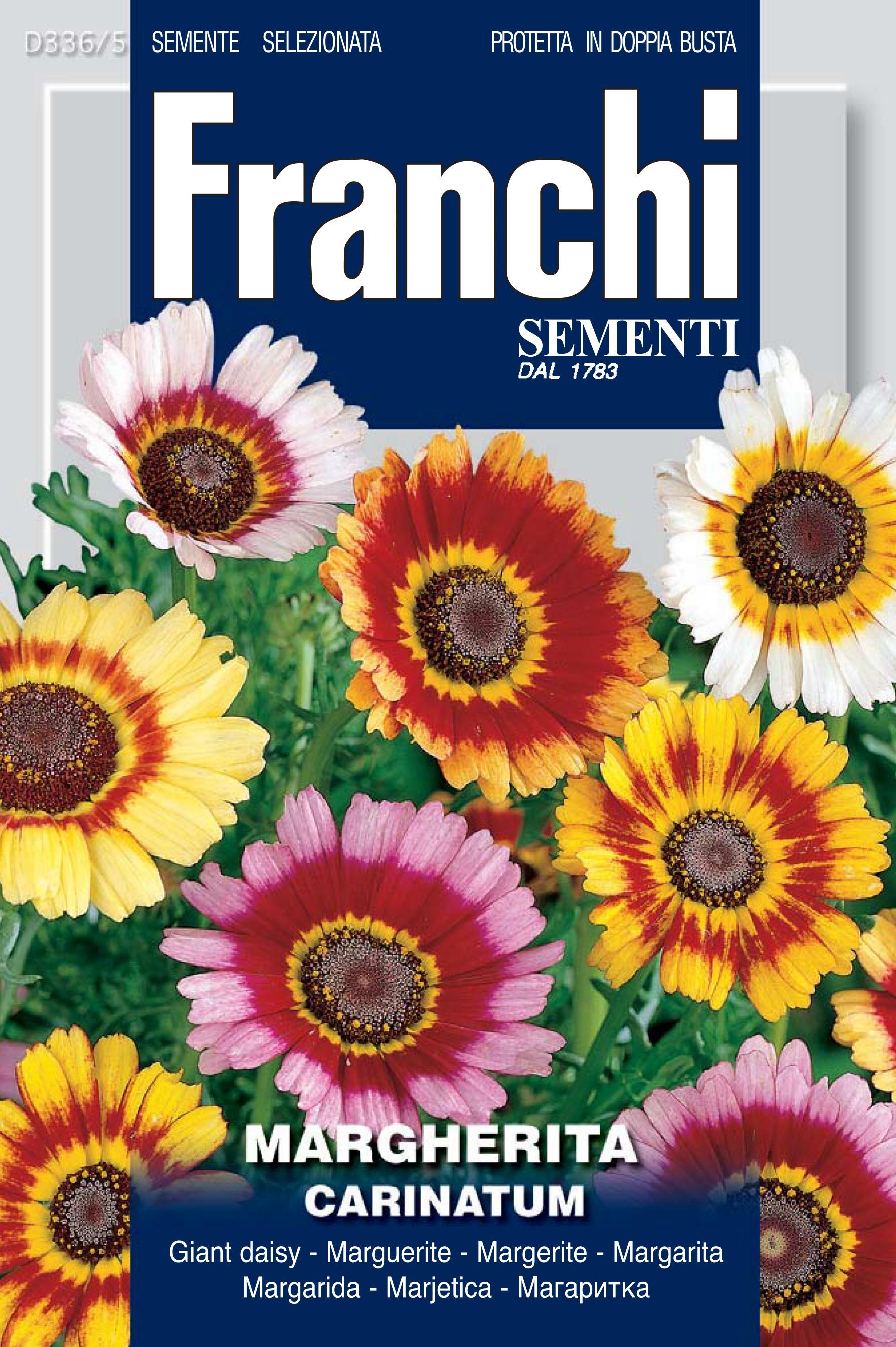 Giant daisy Carinatum