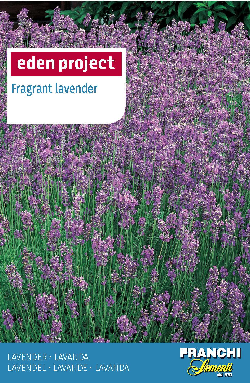 Lavender 'Vera' - Lavandula angustifolia