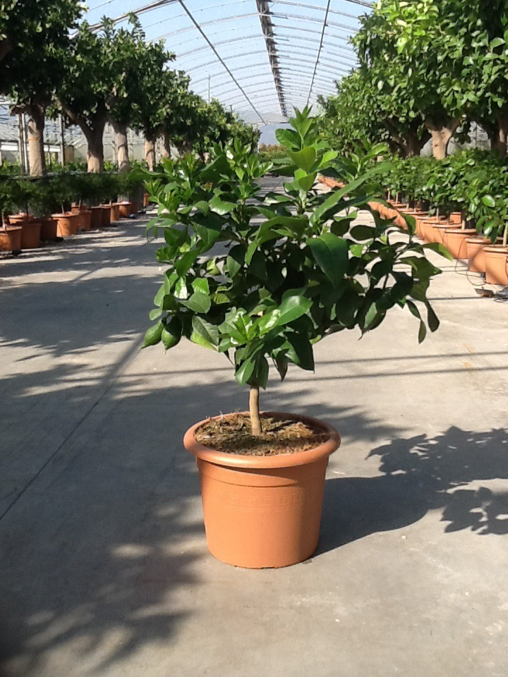 Lemon Trees from Tuscany, edible 'Citrus Limone'