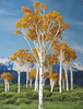 "Grand Central Gems T16 Fall Aspen Trees, 2-3"" (15)"