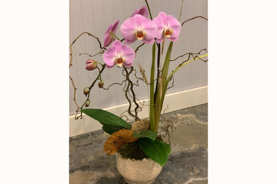 Well dressed orchid plant