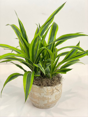 house plant easy care minimal water for seattle flower delivery high quality plants dracaena lemon/lime