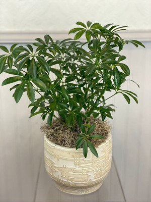 Schefflera house plant easy care minimal water for seattle flower delivery high quality plants from Juniper Flowers