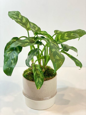 house plant easy care minimal water for seattle flower delivery high quality plants Aglaonema