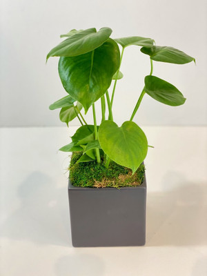 Monstera house plant easy care minimal water for seattle flower delivery high quality plants from Juniper Flowers
