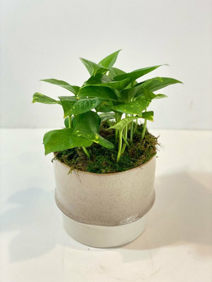 "Pothos Plant 12"" tall for Seattle delivery by Juniper Flowers philodendron"