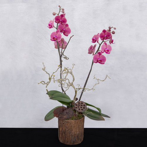 double stemmed phalaenopsis orchid plant