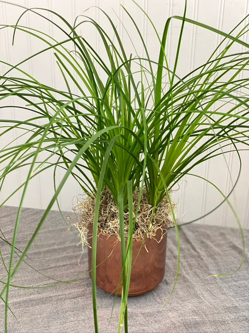house plant easy care minimal water for seattle flower delivery high quality plants ponytail palm