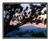 Pikes's Peak Through a Pine Tree in Gods in Colorado Springs, Colorado 316