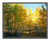 Aspens in Autumn in Woodland Park, Colorado 95
