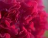 Fuchsia Peony Flower Detail 2452