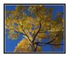 Aspen Tree in Autumn Mueller State Park, Colorado 2505