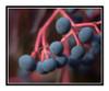 Virginia Creeper Berry Detail in Autumn 2541